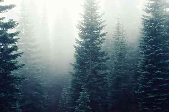 forest trees fog foggy